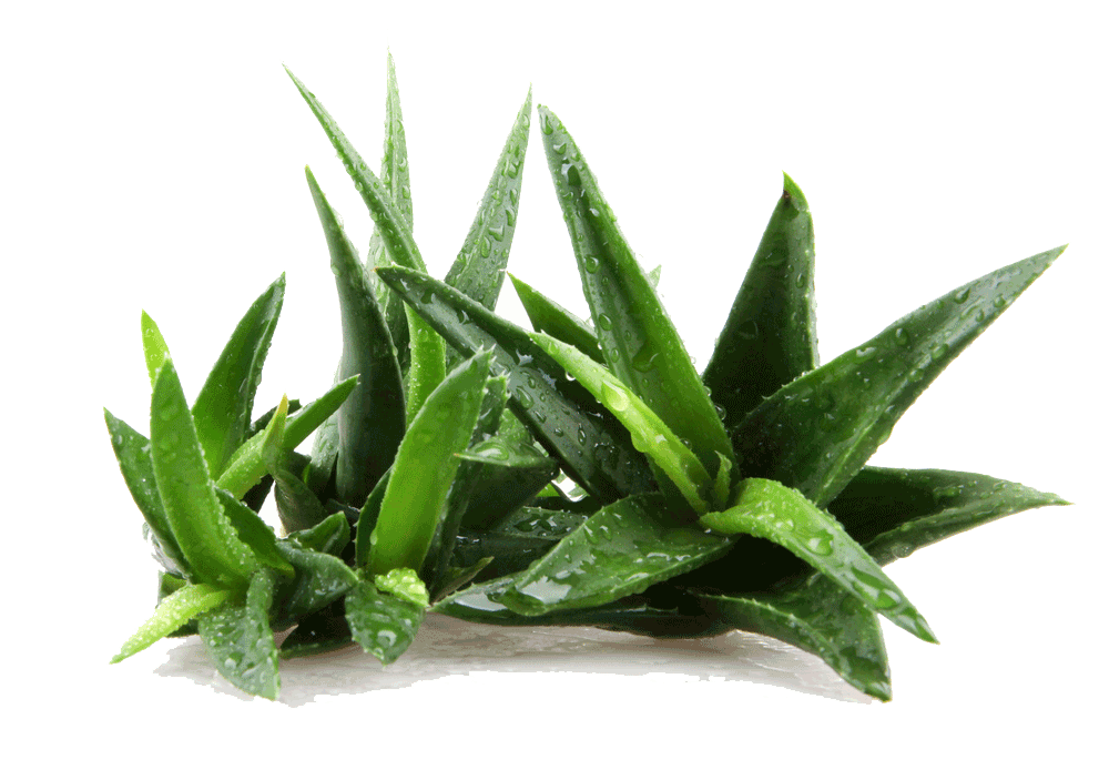 Large Aloe vera – Eatonslater.com Health food & online health store